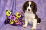 English Springer Spaniel Details -  ID: 74
