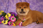 Chow Chow Details -  ID: 83