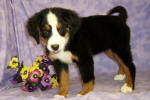 Bernese Mountain Dog Details -  ID: 99