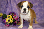 English Bulldog Details -  ID: 91